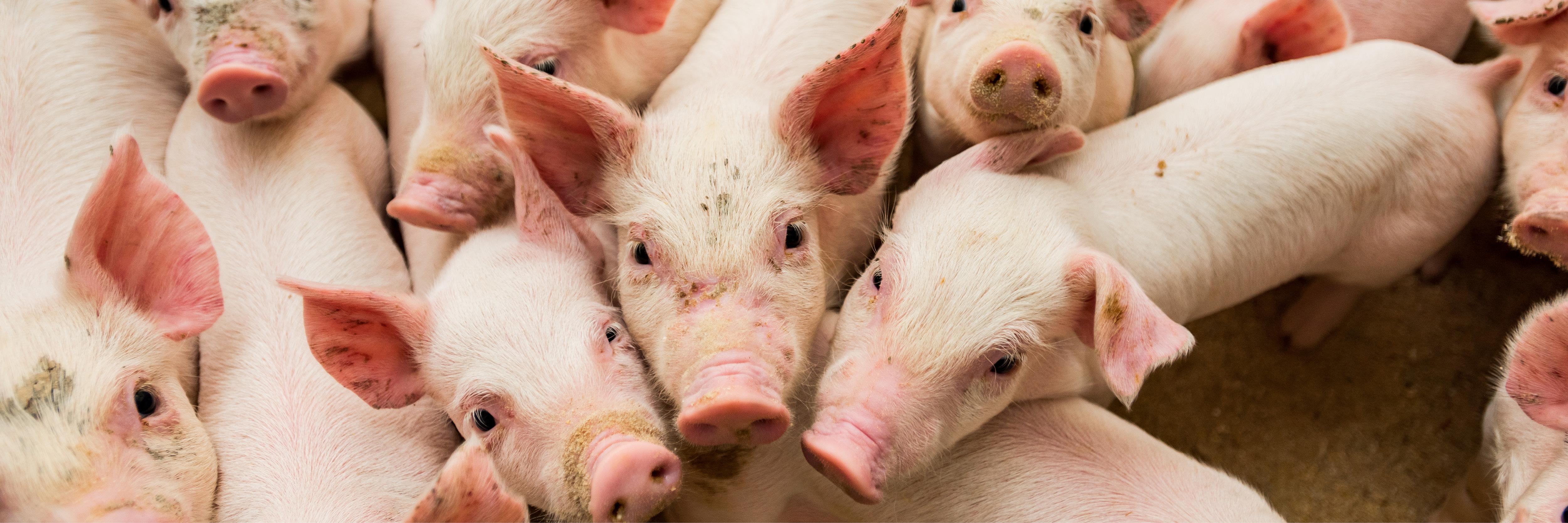 Profitability Returns to Hog Market